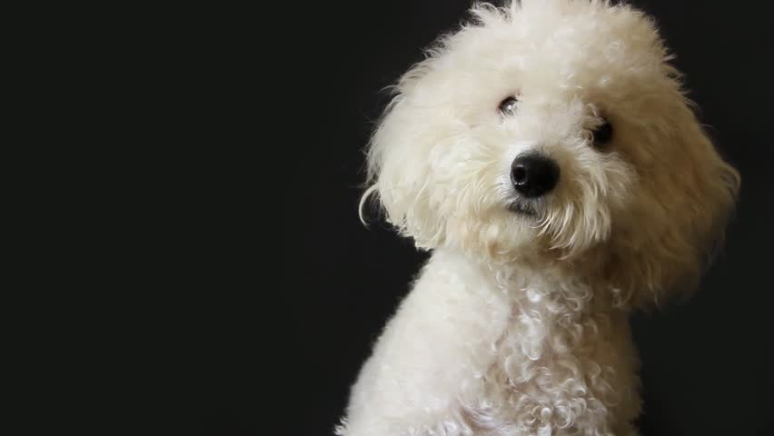 White poodle dog looking in camera on gray background