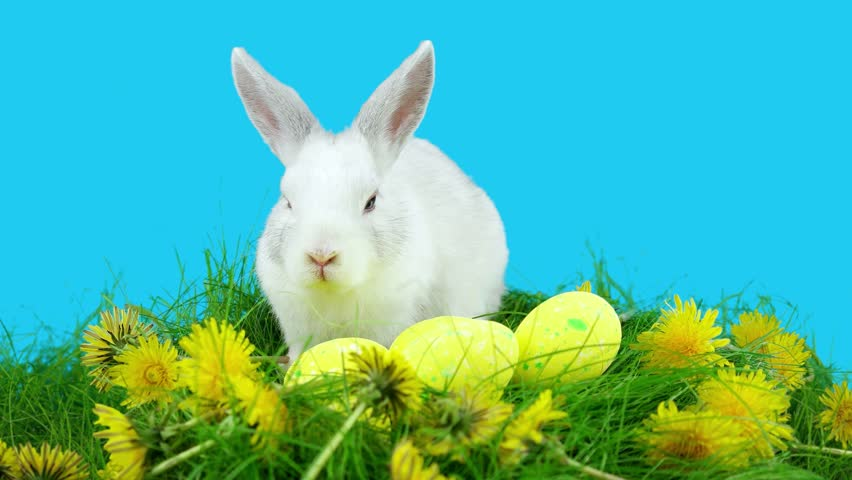 fluffy white bunny sniffing easter eggs besides daffodils