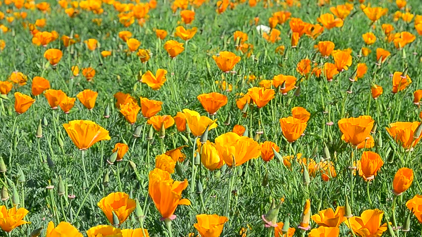 California poppy field with stingless bees. | Shutterstock HD Video #24088912