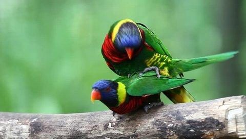 Rainbow Lorikeet (Trichoglossus haematodus) bird mating in high definition (HD)