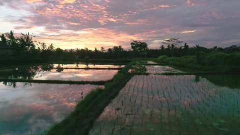 Flying towards an epic sunset with reflections of clouds and farmers over Balinese rice fields near Ubud