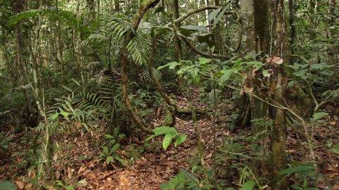 Walking through lianas in rainforest in the Ecuadorian Amazon