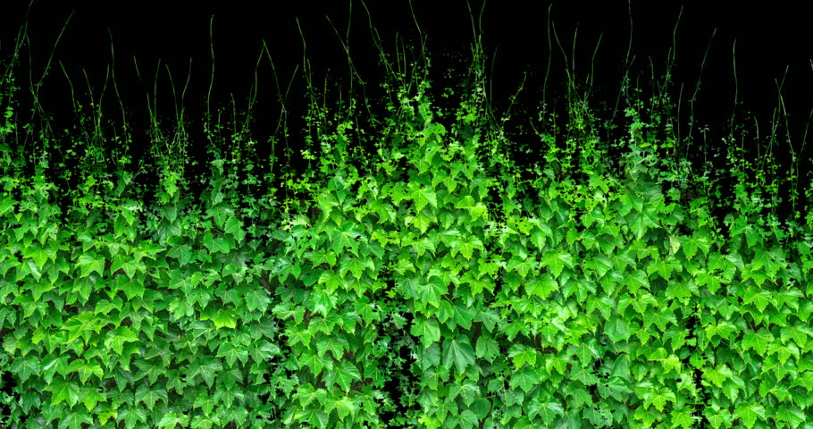 grapevine growing on black background, alpha included, use for video transition, time lapse, spring