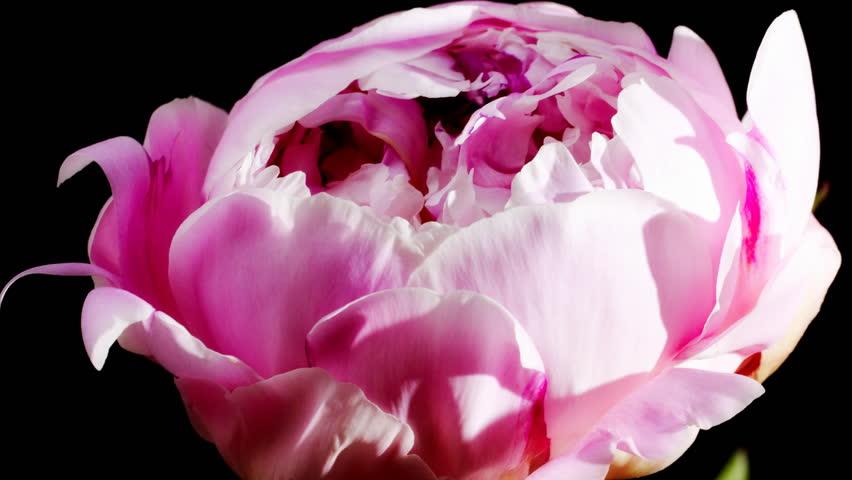 timelapse of peony flowering