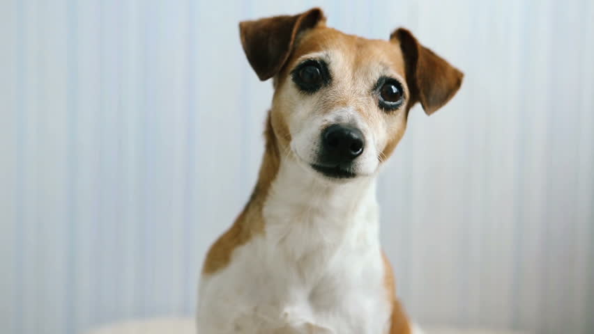 Lovely small pet Jack Russel terrier close up head portrait. Cool looking dog. Video footage. Blue background. Soft Daylight inside room
