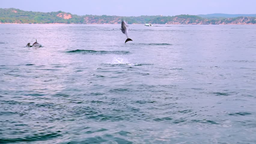 Long-Snouted Dolphins swimming away, jumping out of sea and performing tricks during morning hunting for fish. Group of marine carnivores chasing tuna in ocean. Sri Lanka. Long shot. Slow motion. | Shutterstock HD Video #24323552
