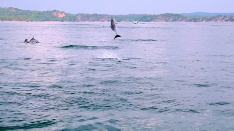 Long-Snouted Dolphins swimming away, jumping out of sea and performing tricks during morning hunting for fish. Group of marine carnivores chasing tuna in ocean. Sri Lanka. Long shot. Slow motion.