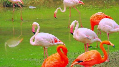 Beautiful pink flamingos on pond. Wild animal in its natural habitat