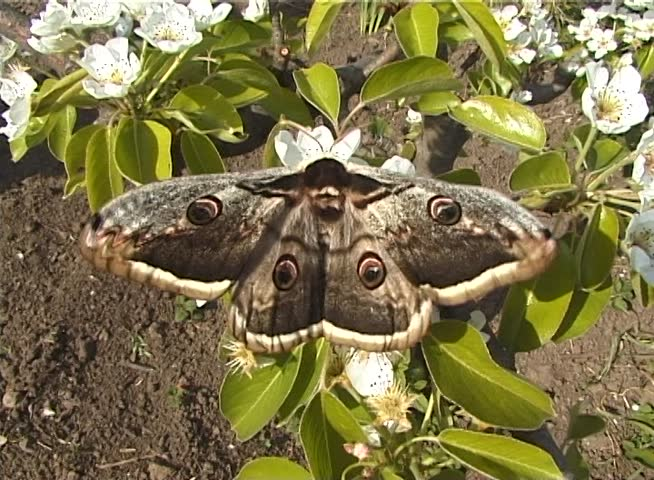 Saturnia pyri, the giant peacock moth, also called the great peacock moth, giant emperor moth, or Viennese emperor, is a Saturniid moth which is native to Europe