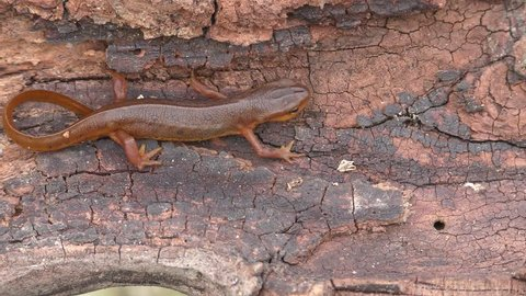 Adult male Eastern Red-spotted Newt (Notophthalmus viridescens) on a log