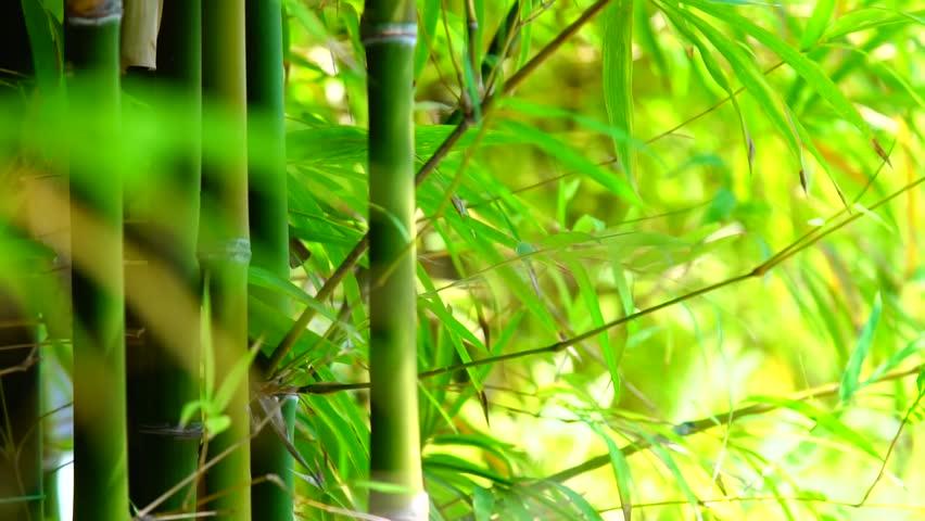 Slow motion :  Beautiful shot of  Bamboo   Shutterstock HD Video #24400412