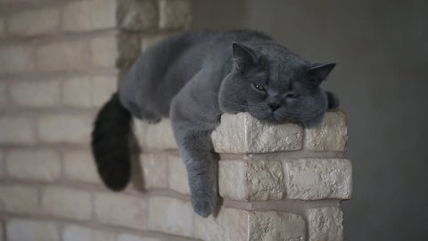 funny lazy British cat lies