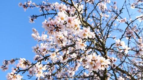 Branches of an almond blossom. Filmed in Avila, Castilla y Leon, Spain, in February 2017.