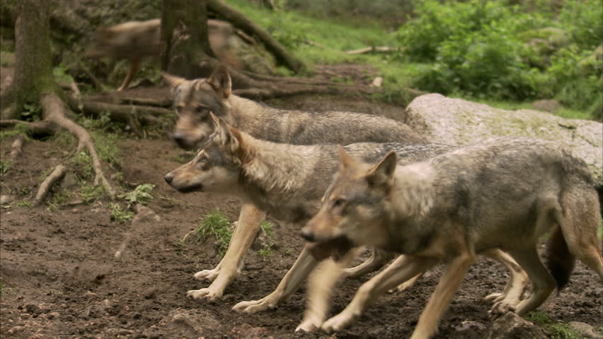 Wolves at a zoo