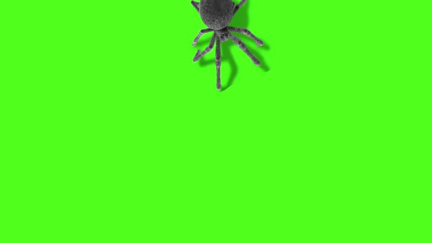 Arachnid Black Widow Spider on Wall Front Green Screen 3D Rendering Animation