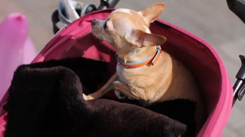 close up of frightened chihuahua dog sitting in baby pram and shakes