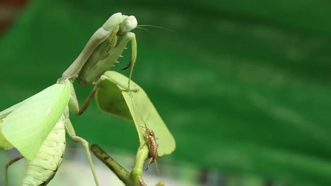 Green mantis hunting a cricket