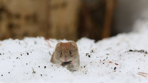 Common vole (Microtus arvalis) eats a sunflower seed while sitting in a snow
