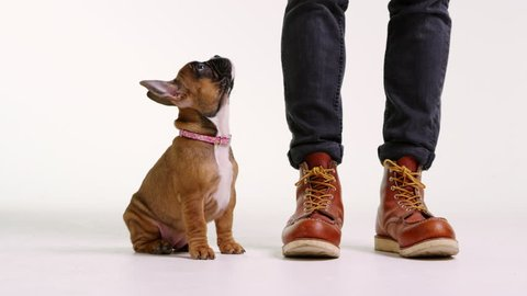 French bulldog puppy sits looking up at owner, low angle, shot on R3D