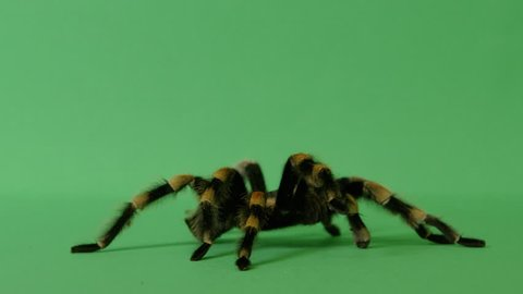 black and yellow tarantula spider crawling on green screen 4
