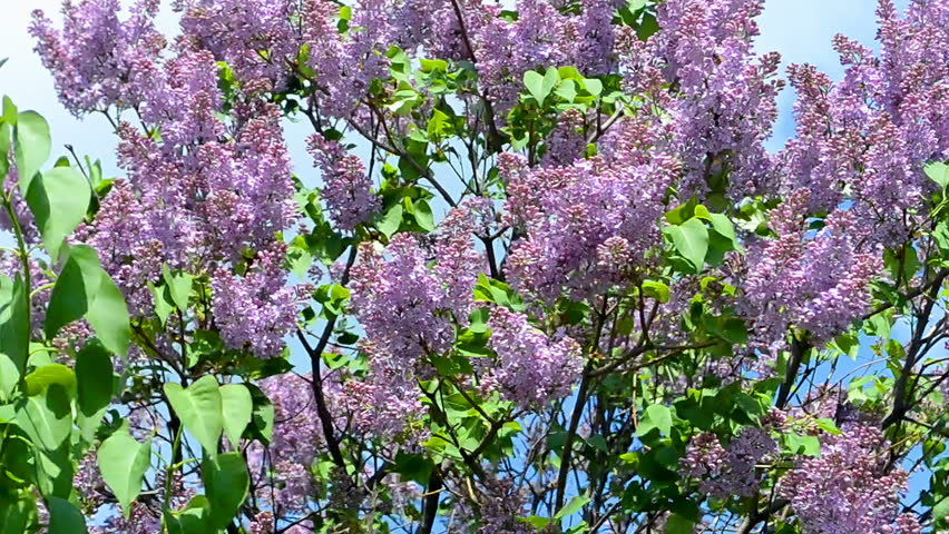 Syringa (lilac) on blue sky in sunny day, spring windy weather | Shutterstock HD Video #24705167