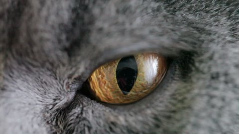 Close-up Of Cat's Orange Eye. British Cat