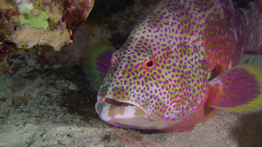 Lyretail Grouper (Variola louti) stands under a rock, close up.