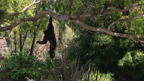 4K HD Video of one brown and white Gibbon swinging on tree branches looking around