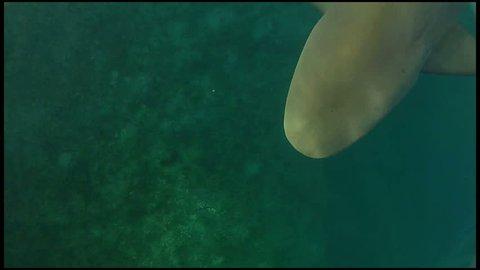 Bull Shark Underwater