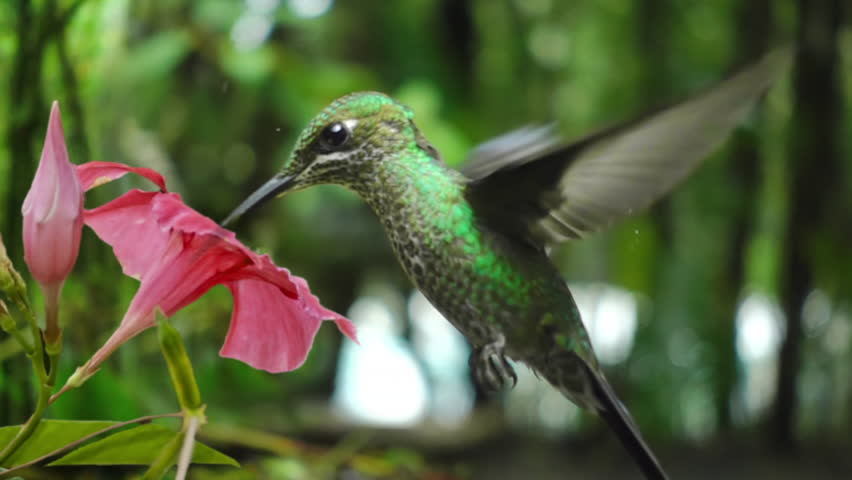 hummingbird feeding from flower slow motion