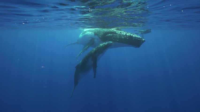 Humpback whales, mother and calf in clear water around the island of Tahiti #24836882