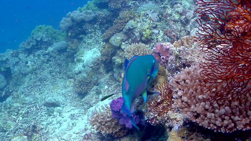 Steephead parrotfish (Chlorurus microrhinos) feeding underwater in Fiji Islands