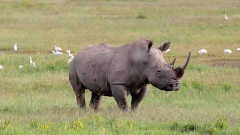 A WILD White or Square-lipped Rhinoceros (Ceratotherium simum) Poses for the Camera While Walking Along the Grass at Lake Nakuru, Kenya, Africa.