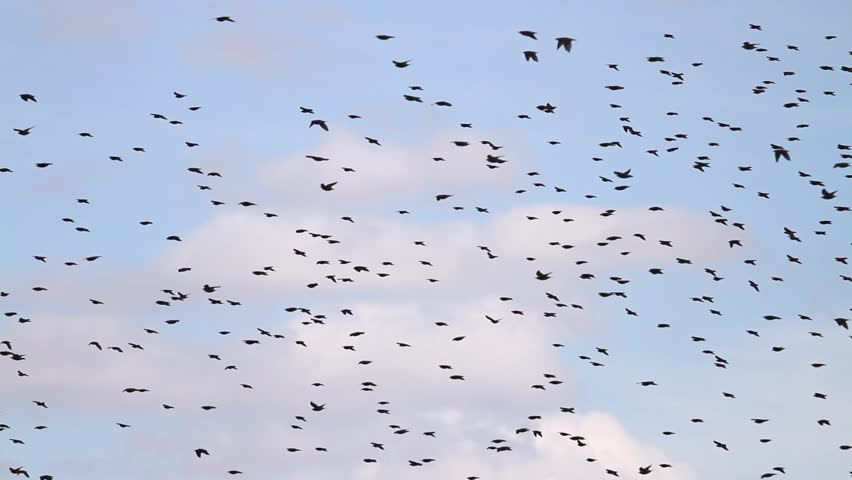 flock of starlings perform murmuration in the sky/flock of starlings perform murmuration in the sky,wildlife, birds, animals, the specificity of the season