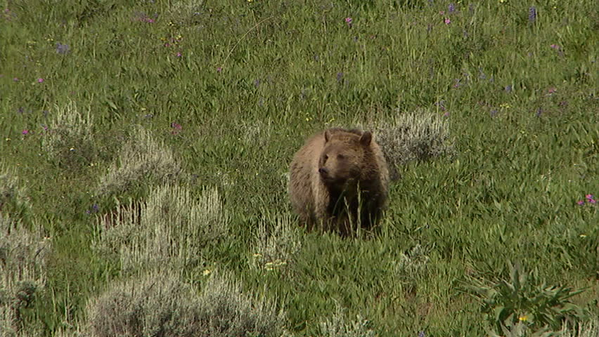 Grizzly sow and two cubs move through a meadow