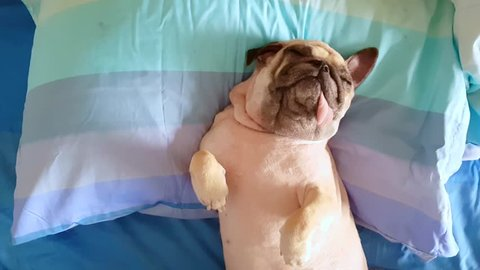 Pug dog having a siesta an resting in bed on a pillow on his back , tongue sticking out looking very funny