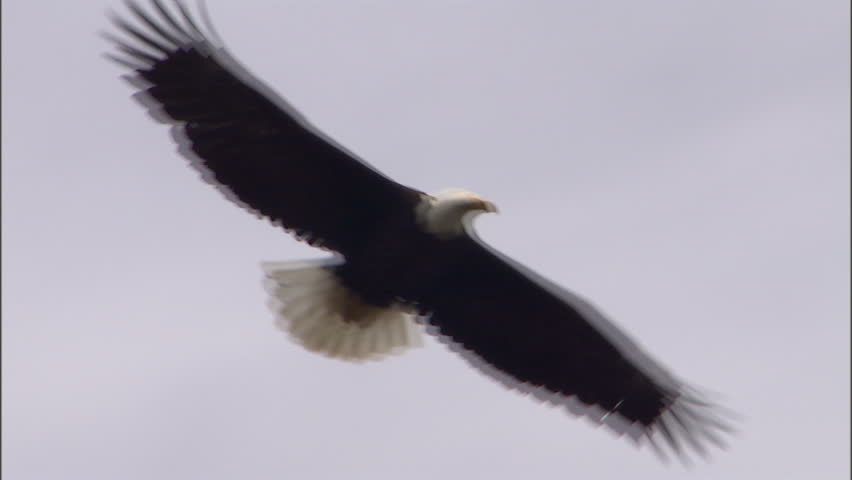 A bald eagle glides through the air above an evergreen forest.