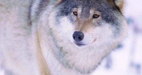 Portrait of beautiful wolf in frosty forest
