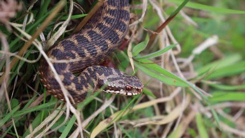 Male Adder ( Vipera berus ) Close Up.