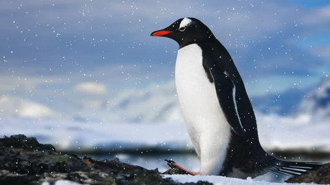 Antarctic Wildlife. Lonley penguin standing on the rock in cold snowfall. Majestic winter landscape. Exploring beauty world, holidays and recreation. Travel background. Slow motion 4K footage
