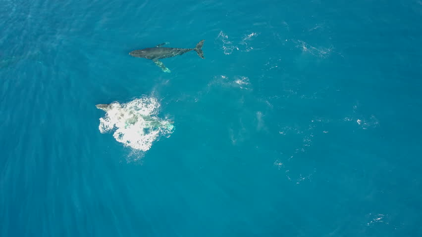 Aerial view of 2 Humpback whales cruising with some fin slapping off Launiupoko State Park in Lahaina, Maui, Hawaii