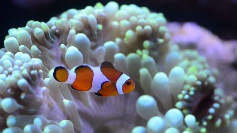 clown fish hosting on anemone