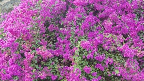 Bougainvillea Flowers Bloom