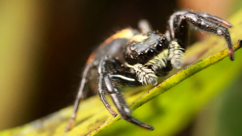 Jumping spider (family Salticidae) Jumping spiders have good vision and use it for hunting and navigating.