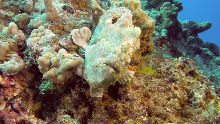 Commerson Frog Fish clings on Coral Reef stalking prey.