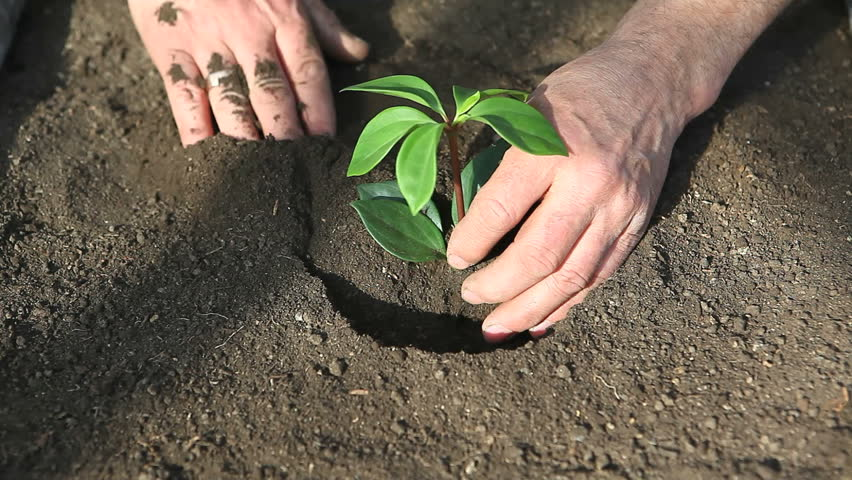 man planting seedling in black soil with hands only