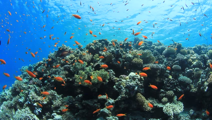 Movie Clip of Coral Reef with Tropical Fish in the Red Sea