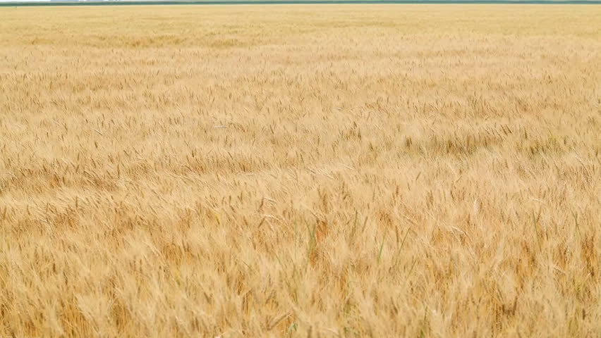 Wheat Blowing in Wind 1080p amber waves of grain