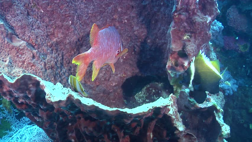Sabre squirrelfish (Sargocentron spiniferum) underwater in Indonesia