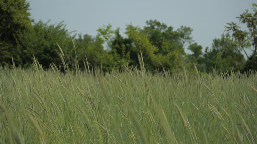 VIRGINIA - SUMMER 2015.  Wide farm field, meadow in central United States. Summer time. Tall Grass growing and swaying in the breeze, gentle.  Wheat field.   Shutterstock HD Video #25356482